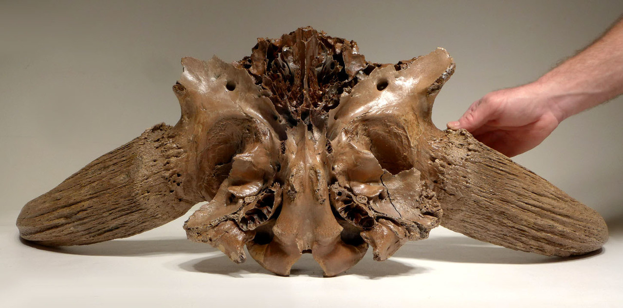 FINEST ICE AGE EUROPEAN FOSSIL BISON SKULL OF A STEPPE WISENT FROM GERMANY  *LMX188