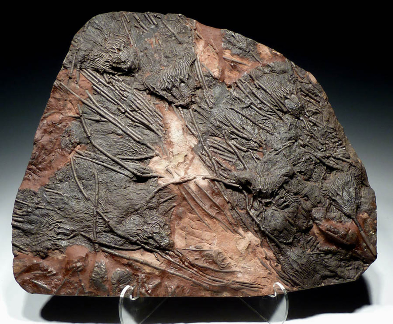 CRI019 - SHOWPIECE VERY LARGE INTERIOR DESIGN FOSSIL WITH PRESERVED PREHISTORIC SEA LILIES ANCIENT OCEAN FLOOR ROCK
