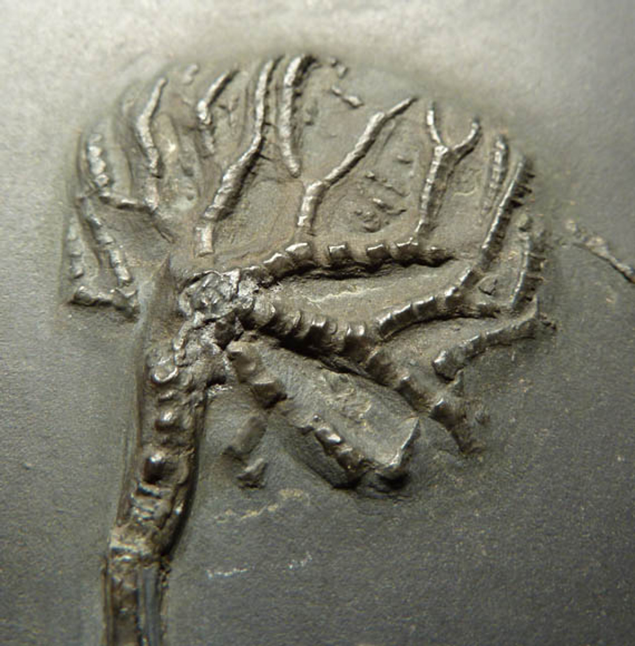"CRI006 - SUPERB ""OLD COLLECTION"" DEVONIAN FOSSIL SEA LILY CRINOID TAXOCRINUS FROM FAMOUS BUDENBACH SITE"
