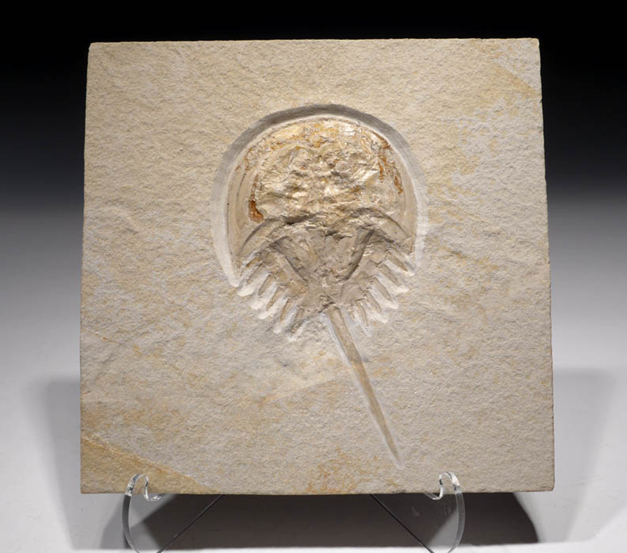 CRUS032 - FINEST GRADE FOSSIL HORSESHOE CRAB FROM THE JURASSIC OF SOLNHOFEN GERMANY