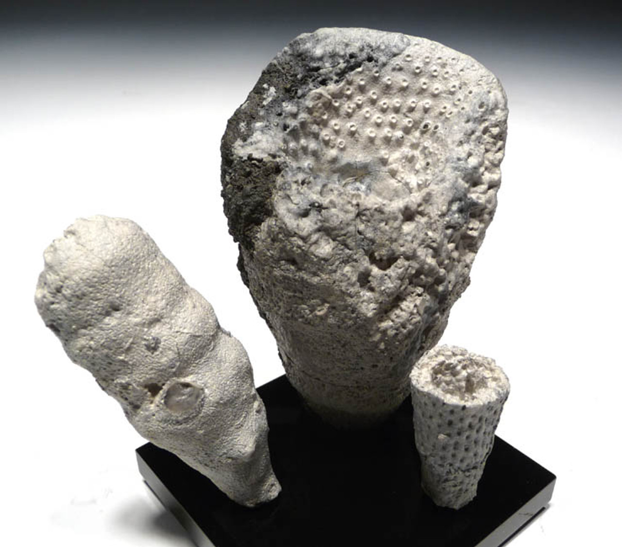 "SP012 - FOSSIL CRETACEOUS SPONGE ""REEF"" OF 3 CAMPANIAN-ERA FULLY INFLATED SEA SPONGES OF DIFFERENT SPECIES"