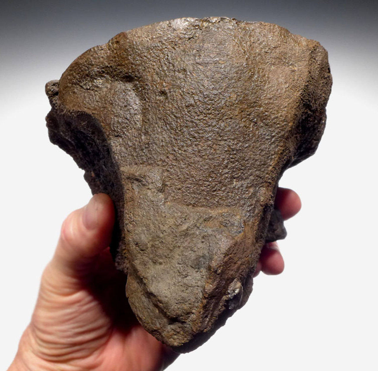 ST015 - EXCEPTIONAL LARGE SLICED AND POLISHED 3D FRESHWATER FOSSIL STROMATOLITE COLONY FROM THE LOWER PERMIAN OF GERMANY