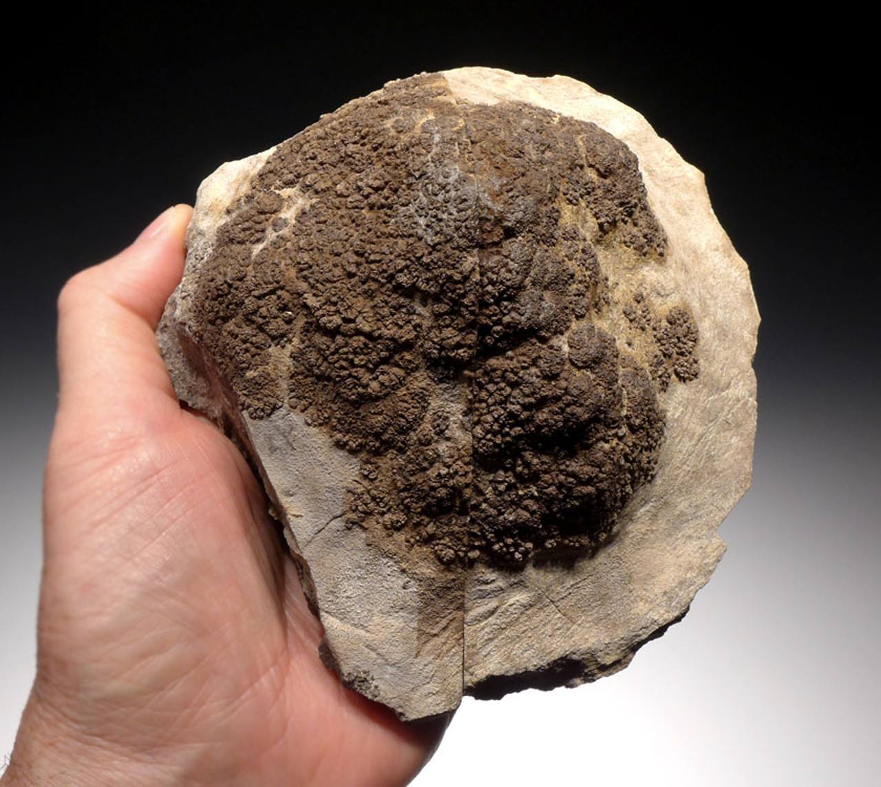 ST014 - RARE SLICED AND POLISHED 3D FRESHWATER FOSSIL STROMATOLITE COLONY FROM THE LOWER PERMIAN OF GERMANY