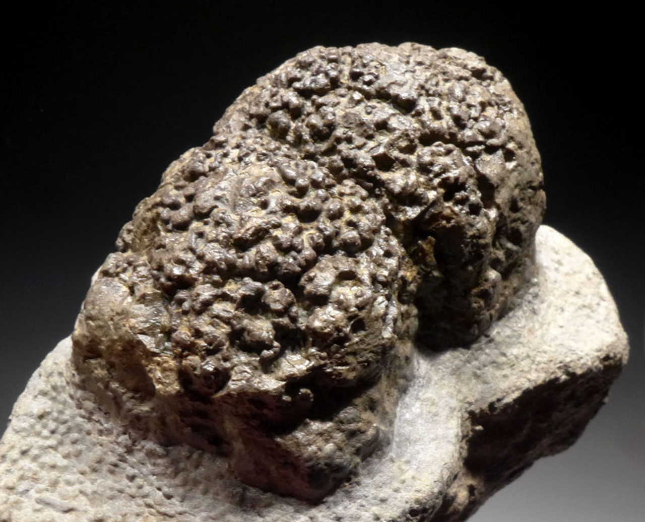 ST009 - THREE-DIMENSIONAL LACUSTRINE FOSSIL STROMATOLITE COLONIES FROM THE LOWER PERMIAN OF GERMANY