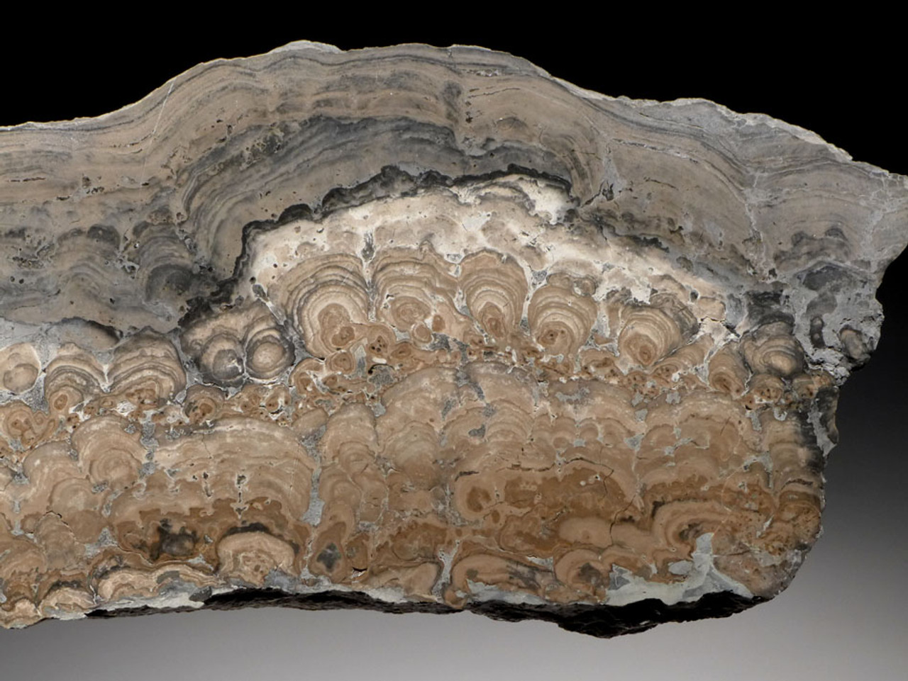 ST011 - LARGE POLISHED SLICE OF PERMIAN STROMATOLITE COLONY AFTER THE PROTEROZOIC PERIOD FROM GERMANY