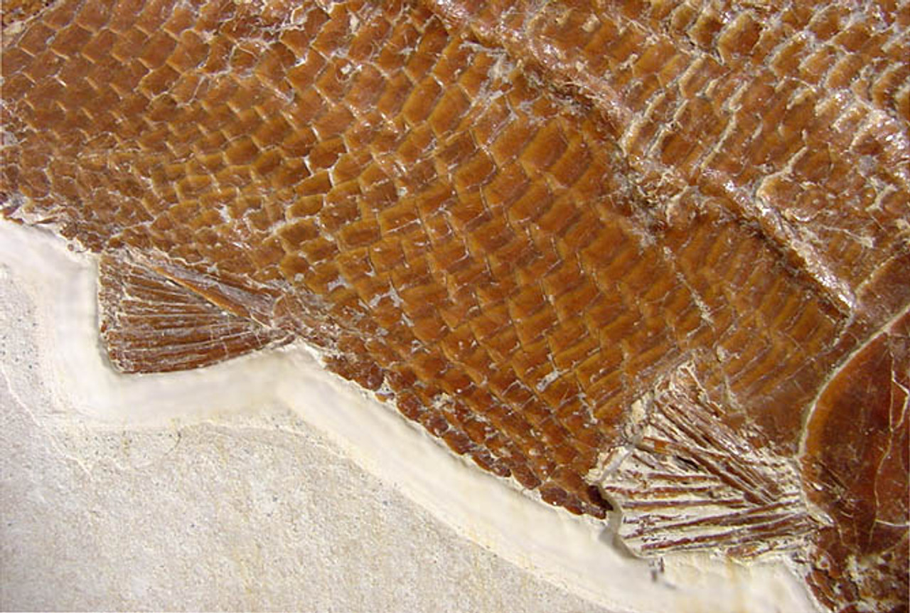 FG007 - ULTRA RARE JURASSIC FOSSIL FISH SIEMENSICHTHYS WITH THE FINEST PRESERVATION