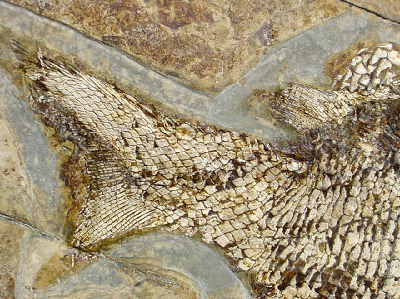 FG003 - RARE AEDUELLA FISH FROM THE EARLY PERMIAN WITH SPINY SHARKS ON SLAB