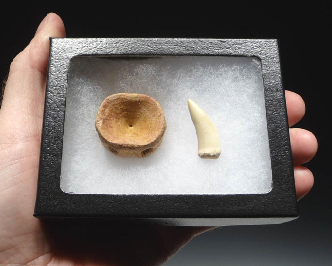 F077 - CRETACEOUS SABER-TOOTHED ENCHODUS FISH FOSSIL VERTEBRA AND FANG SET