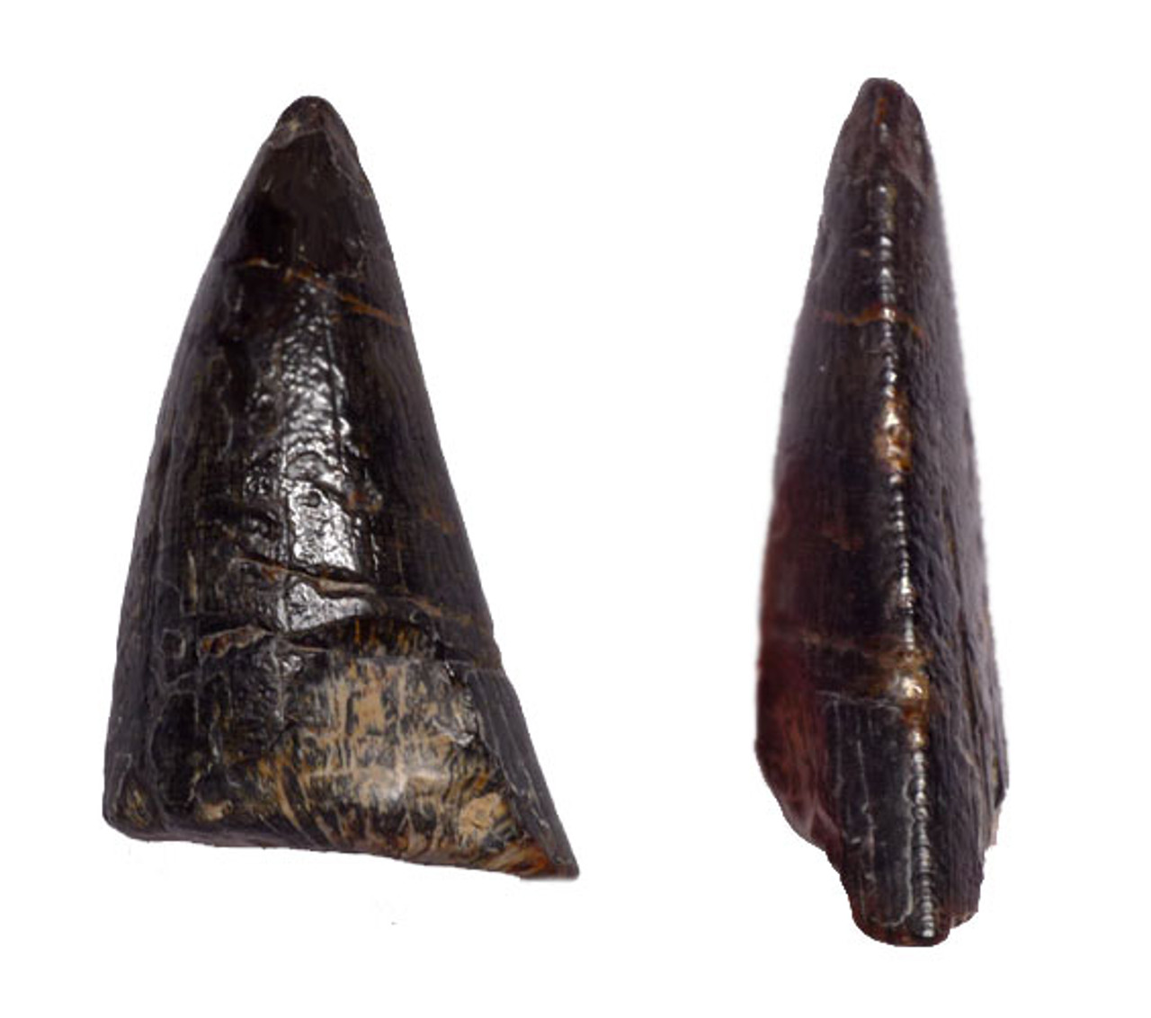 DTX001 - INCREDIBLY RARE EOCARCHARIA THEROPOD DINOSAUR TOOTH FROM NIGER