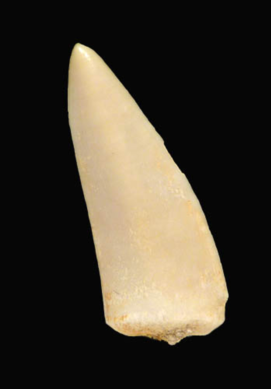 MV5-006 - CRETACEOUS FOSSIL ENCHODUS FISH FANG TOOTH
