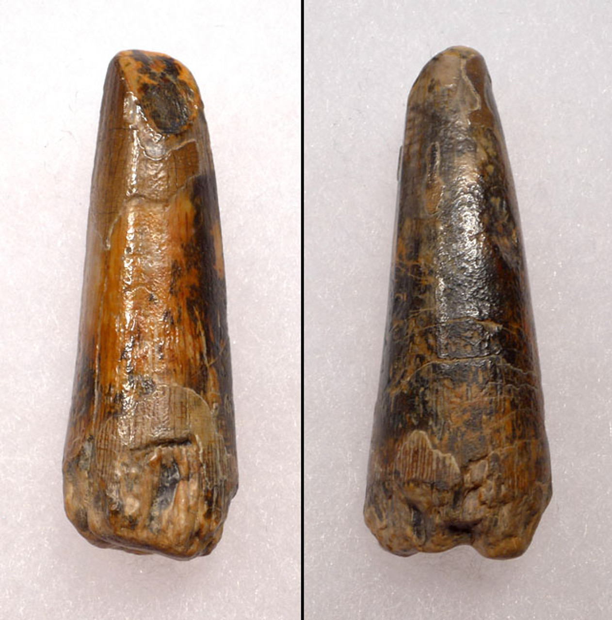 DT30-003 - SUCHOMIMUS TENERENSIS DINOSAUR TOOTH FROM NIGER WITH CHOICE PRESERVATION
