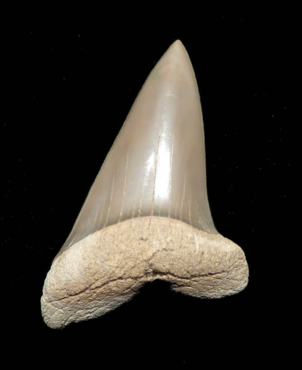 SHLX1 - 2.2 INCH EXTINCT SHARK COSMOPOLITODUS  XIPHODON ( WHITE SHARK ) FOSSIL TOOTH FROM LEE CREEK