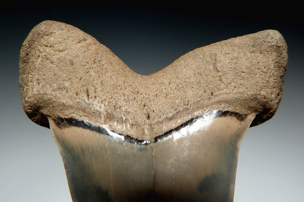 SH10-017- FINEST EXTINCT SHARK COSMOPOLITODUS  XIPHODON ( WHITE SHARK ) FOSSIL TOOTH FROM LEE CREEK
