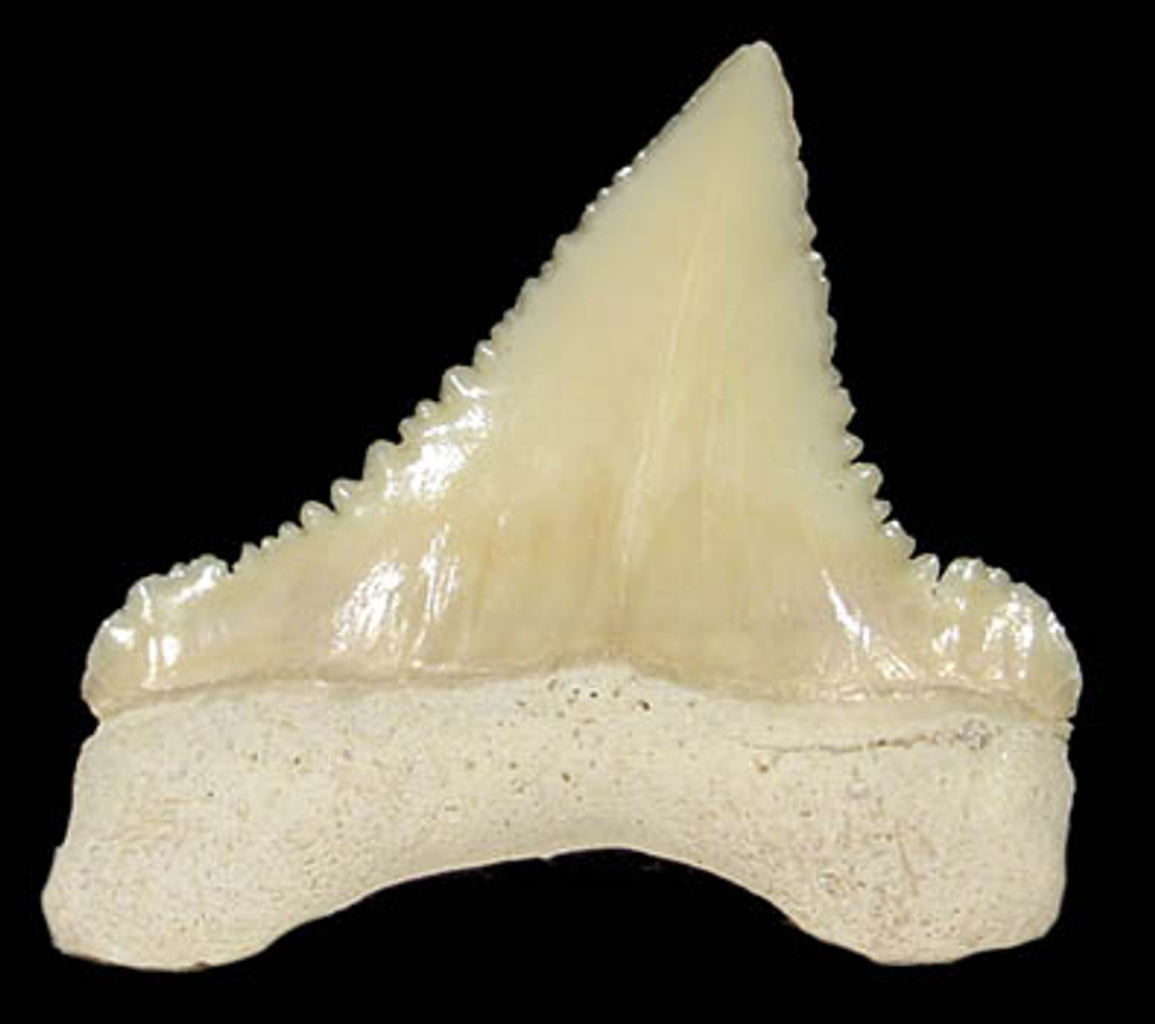 SH5-005 - INTACT PALEOCARCHARODON ORIENTALIS ( PYGMY WHITE SHARK ) FOSSIL TOOTH