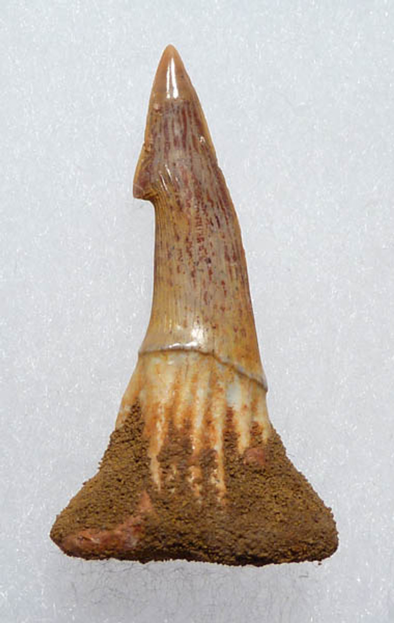 MV17-027 - QUALITY CRETACEOUS SAWSHARK ROSTRAL TOOTH FROM ONCHOPRISTIS