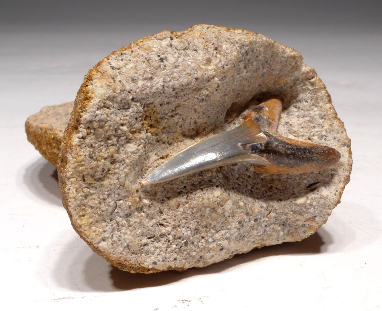 SHX036 - FIRST TIME SEEN MASSIVE   UNBROKEN OLIGOCENE SAND TIGER FOSSIL SHARK TOOTH IN GEODE FROM GERMANY