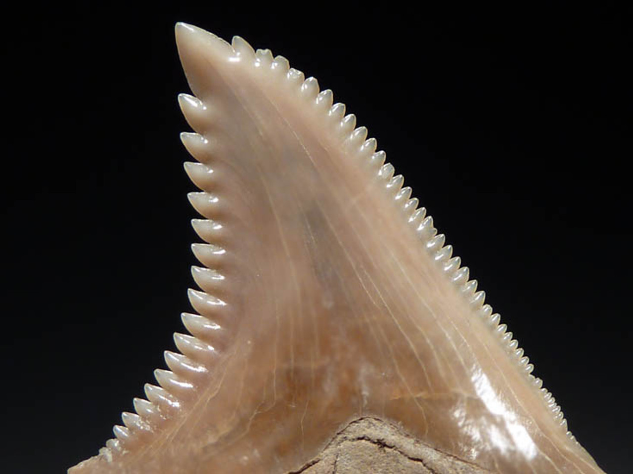SH18-016 - CHOICE CREAM-COLORED HEMIPRISTIS SERRA ( EXTINCT SNAGGLETOOTH SHARK ) TOOTH