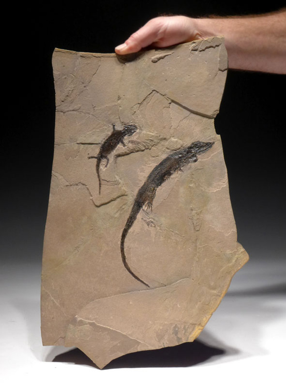 AMPH038 - NATURAL DOUBLE PERMIAN AMPHIBIAN FOSSIL WITH TWO DIFFERENT SPECIES