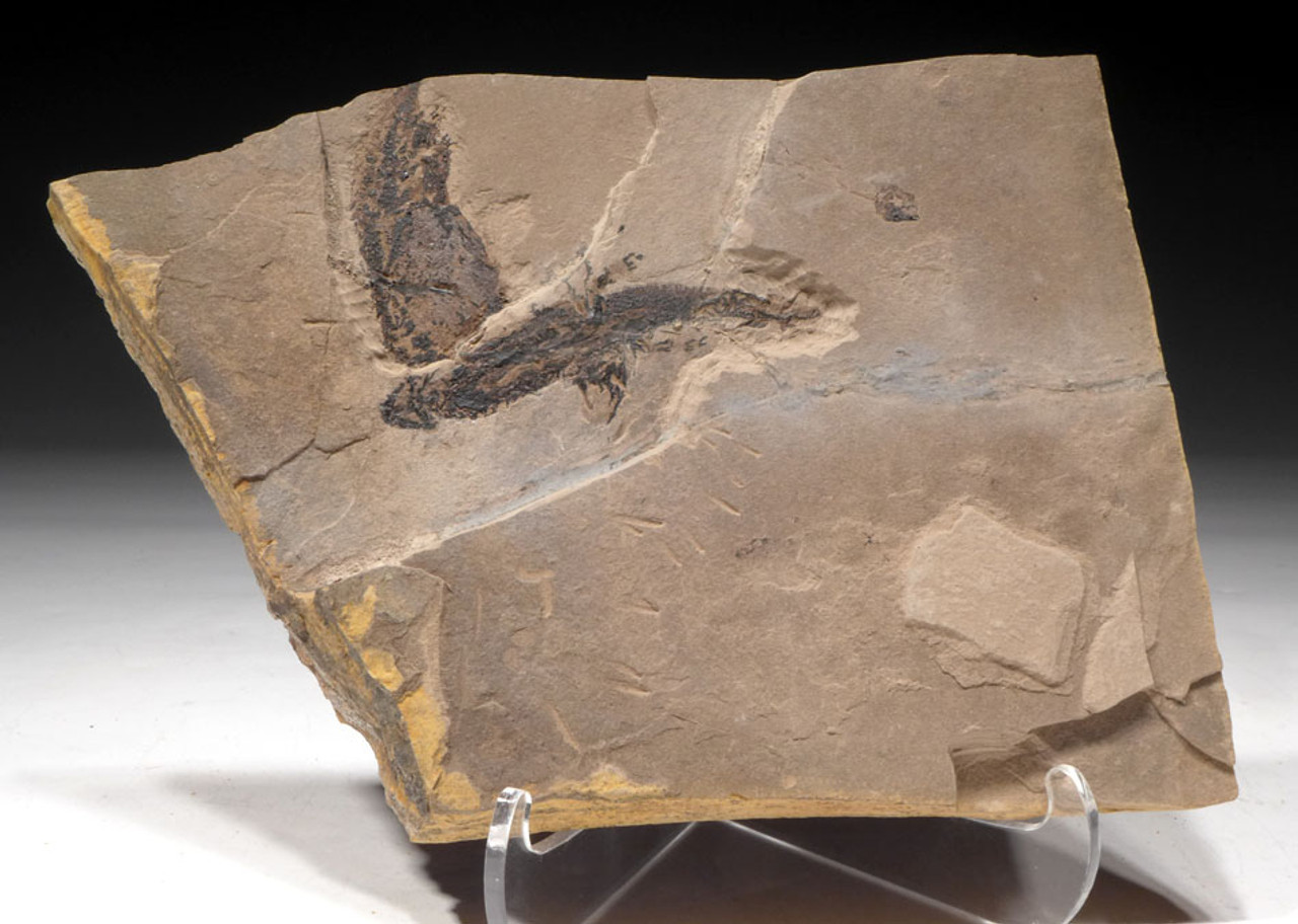 AMPH040 - MULTIPLE PERMIAN APATEON BRANCHIOSAUR AMPHIBIAN SALAMANDER FOSSIL ON MATRIX