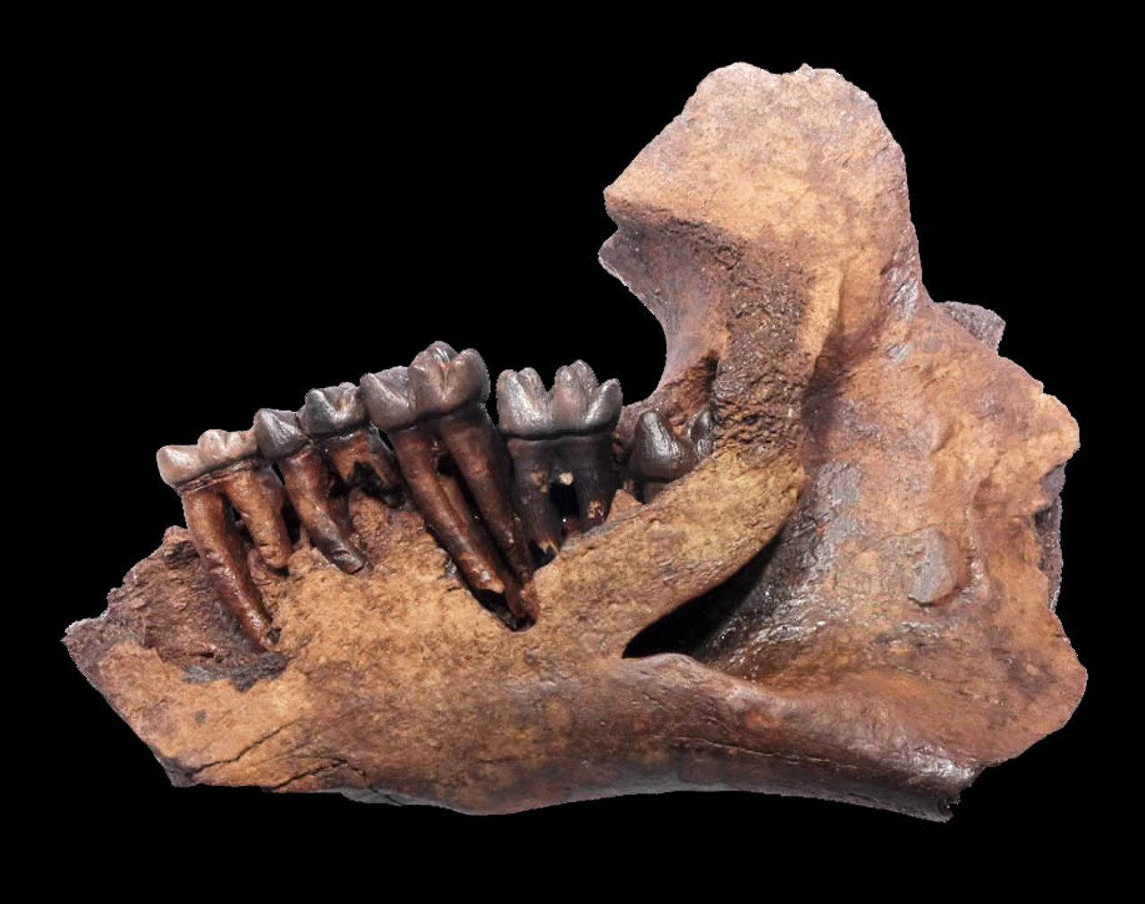 LMX090 - RARE MIDDLE PLEISTOCENE FOSSIL MANATEE MANDIBLE WITH ORIGINAL ROOTED TEETH