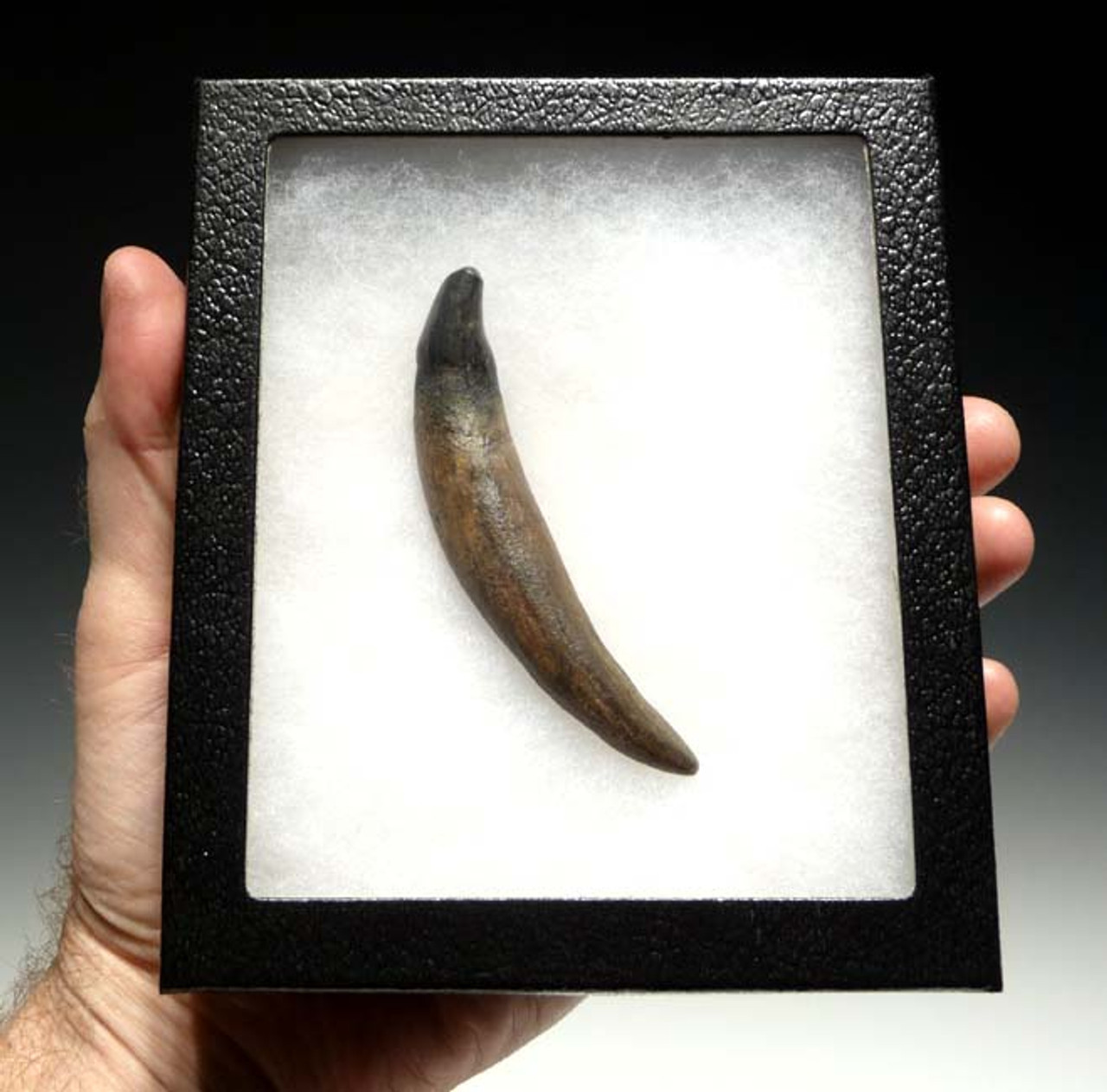 PIN002 - MIOCENE FOSSIL SEAL PINNIPED CANINE TOOTH WITH ROOT FROM CALIFORNIA, U.S.A.