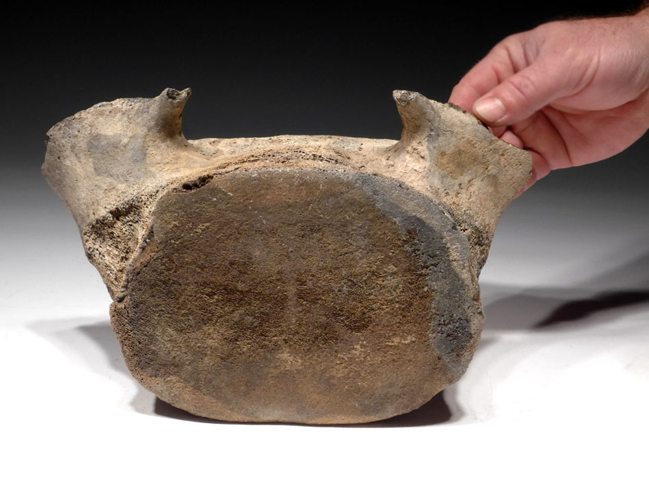 WH021 - EXCEPTIONALLY RARE LARGE PREHISTORIC FOSSIL WHALE VERTEBRA FROM THE FAMOUS LEE CREEK MINES