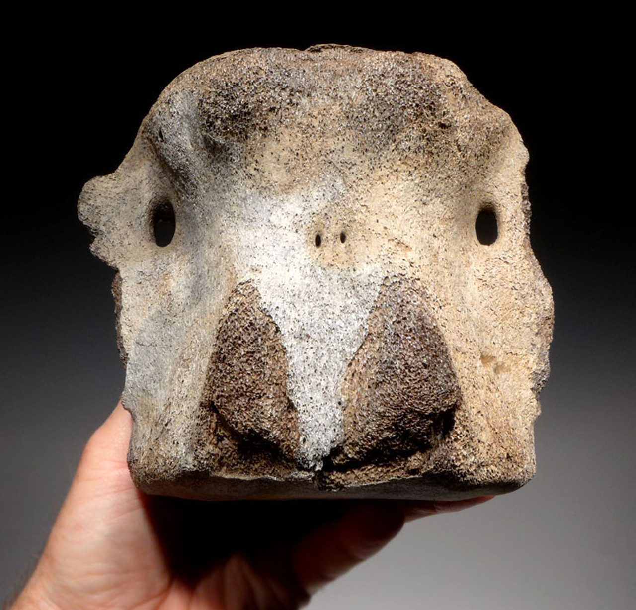 WH022 - PREHISTORIC FOSSIL WHALE VERTEBRA FROM THE FAMOUS LEE CREEK MINES