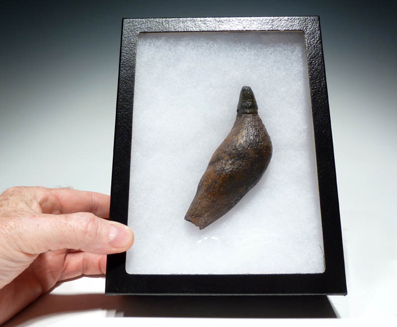 MV21-027 - CHOICE GRADE COMPLETE 5.5 INCH PREHISTORIC SPERM WHALE TOOTH WITH FULL ROOT AND CROWN