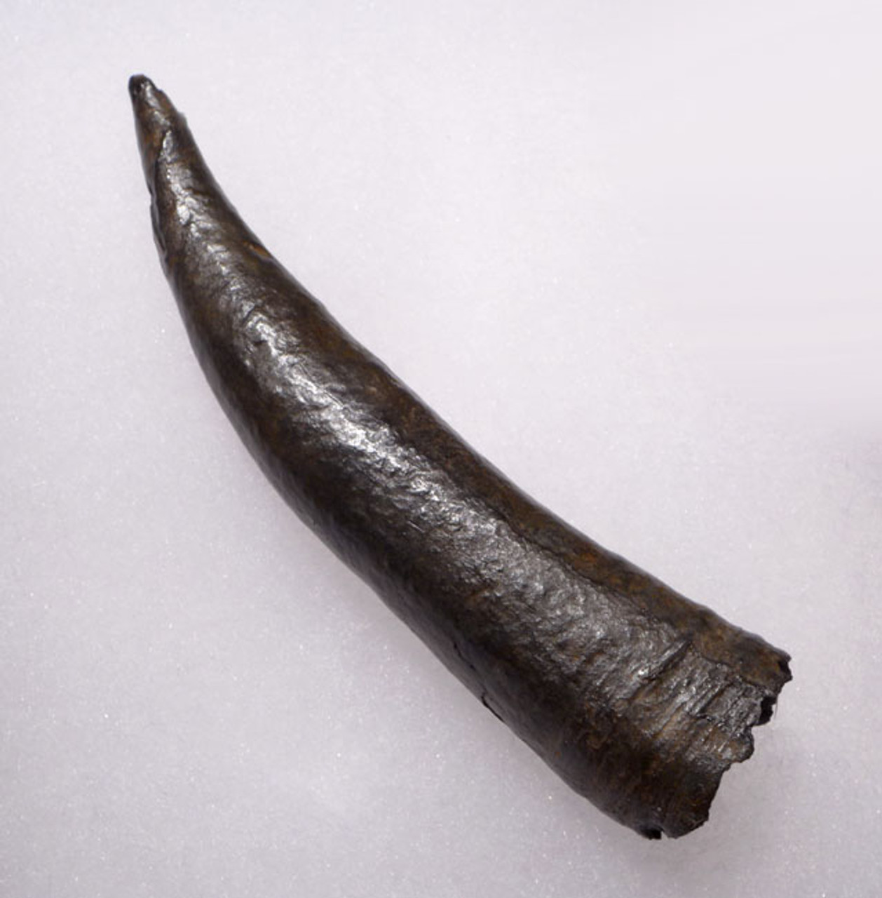WH014 - INTACT AND COMPLETE FOSSIL ODONTOCETE WHALE TOOTH WITH SHARP TIP AND HOLLOW ROOT