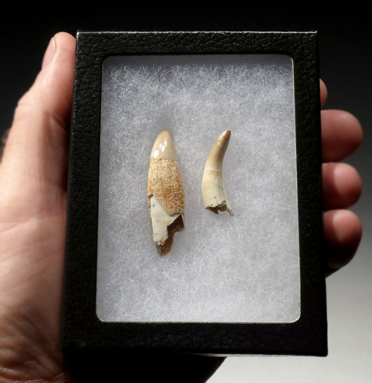 CROC023 - PAIR OF TEETH WITH PARTIAL ROOTS FROM A PREHISTORIC CROCODYLOMORPH DYROSAURUS