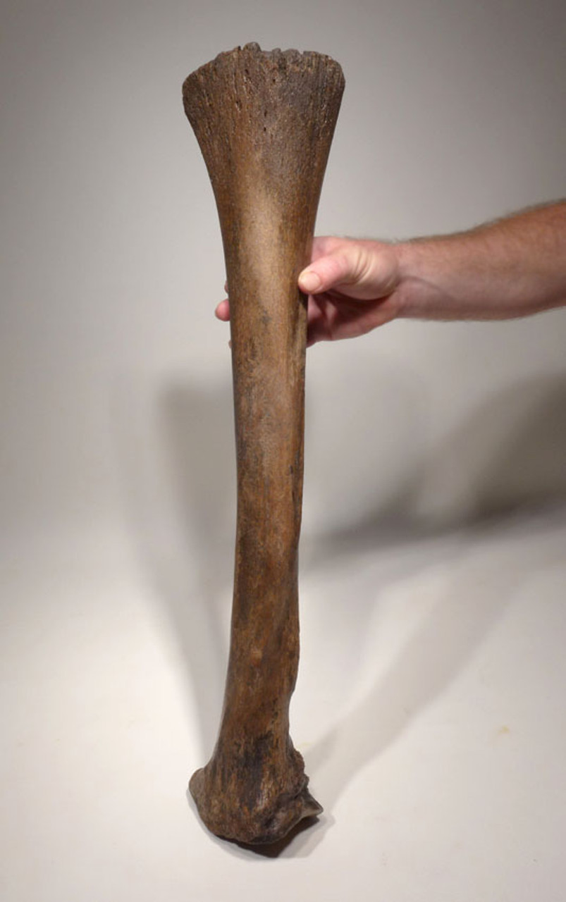 LMX095 - WOOLLY MAMMOTH SUB-ADULT INTACT COMPLETE RADIUS LOWER ARM BONE