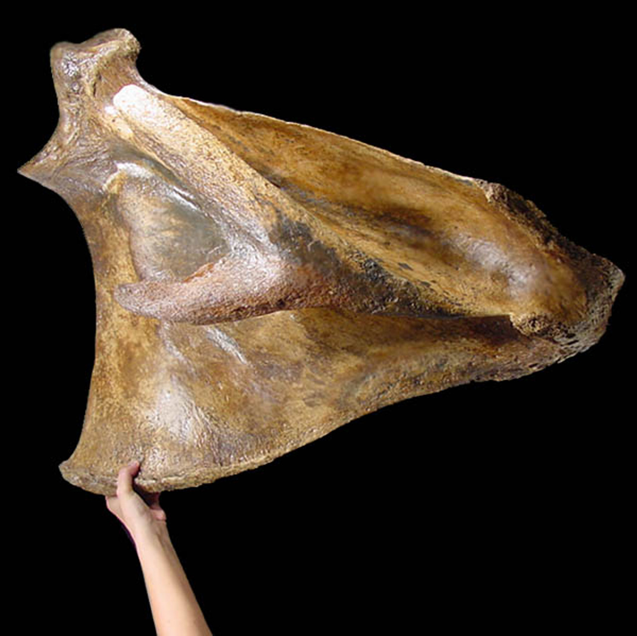 LM8-001 - WOOLY MAMMOTH VERY LARGE COMPLETE SCAPULA