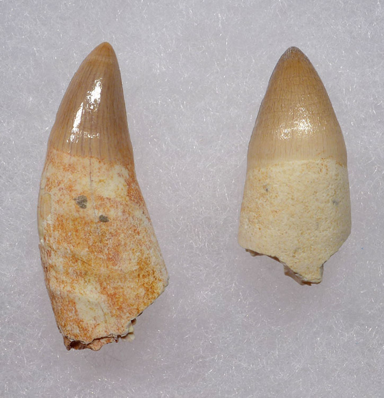 CROC022 - PAIR OF TEETH WITH PARTIAL ROOTS FROM DYROSAURUS