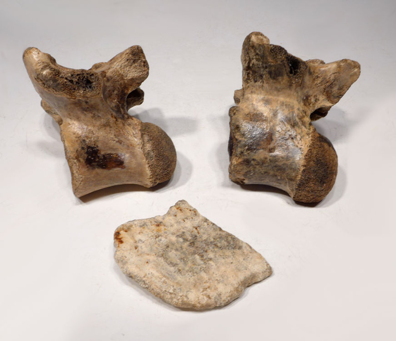CROC018 - EXTREMELY RARE PAIR OF FOSSIL CROCODILE VERTEBRAE AND ARMOR FROM JAVA MAN DEPOSITS