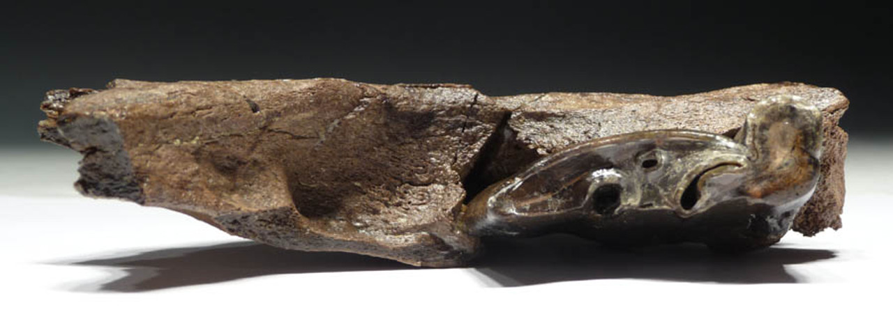LMX021 - EXTREMELY RARE SOUTH AMERICAN TOXODON JAW WITH STUNNING INTACT GIANT PRIMARY MOLAR
