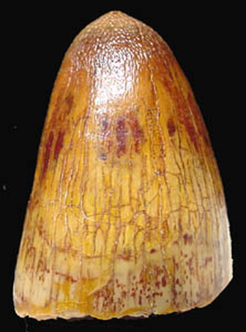 MV10-015 - DINOSAUR-ERA CRETACEOUS FOSSIL CROCODILE TOOTH