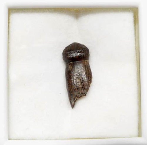 MV10-127 - CRETACEOUS BRACHYCHAMPSA ALLIGATORINE TOOTH FROM HELL CREEK