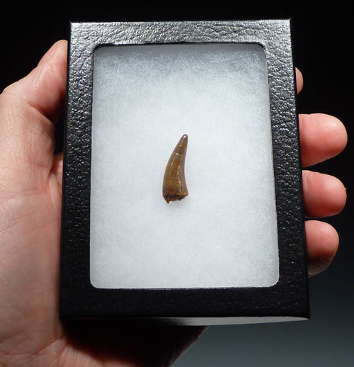 MV10-038 - DINOSAUR-ERA LEIDYOSUCHUS CROCODILE TOOTH