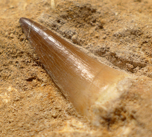 DT1X029 - FINEST GRADE MOSASAUR FOSSIL TOOTH IN MATRIX