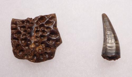 CROC035 - DINOSAUR-ERA LEIDYOSUCHUS CROCODILE TOOTH WITH ARMOR PLATE SCUTE