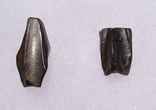 DT70-001 - PAIR OF BABY HADROSAUR DINOSAUR TEETH - WORN AND UNWORN