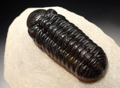 TRX448 - CHOICE QUALITY PHACOPS DEVONIAN TRILOBITE FOSSIL WITH EYE LENS DETAIL