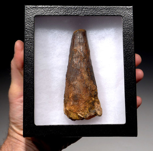 MASSIVE 4.5 INCH SPINOSAURUS TOOTH FROM A HUGE DINOSAUR *DT5-285