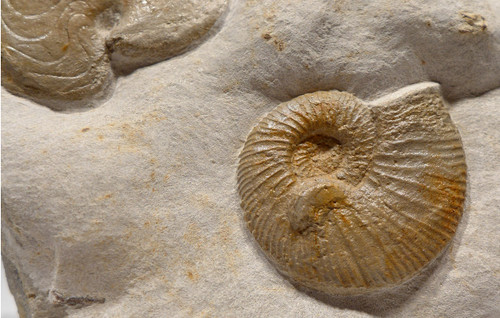 AMX367 - JURASSIC SEA LIFE FOSSIL WITH DIFFERENT TYPES OF AMMONITES IN NATURAL FORM
