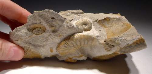 AMX379 - JURASSIC AMMONITE MASS EXTINCTION SEA LIFE FOSSIL FROM EUROPE