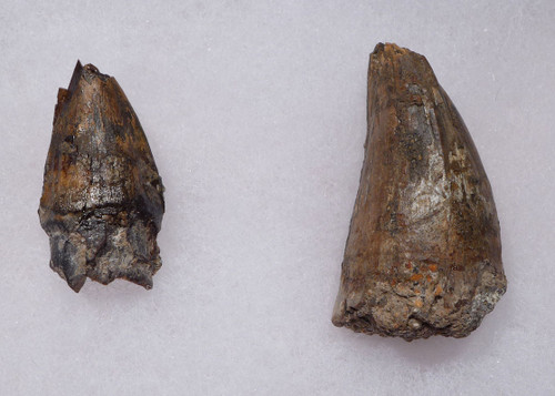 CROC056 - JAVA MAN KILLER RARE PAIR OF FOSSIL CROCODILE TEETH FROM THE FAMOUS HOMO ERECTUS DEPOSITS OF SOLO RIVER