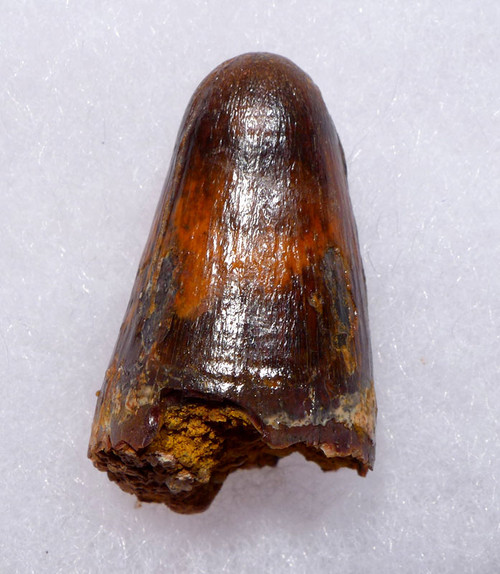 CROC061 - LARGE BONE-CRUSHING FOSSIL CROCODILE TOOTH FROM THE CRETACEOUS DINOSAUR-ERA