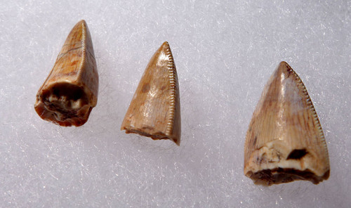 DT12-029 - COLLECTION OF THREE TRIASSIC REPTILE FOSSIL RUTIODON PHYTOSAUR TEETH