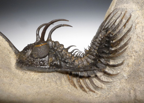 SUPREME RARE VARIANT LONG-SPINED WALLISEROPS TRIDENT COMURA TRILOBITE WITH ORIGINAL SPINES *TRX378