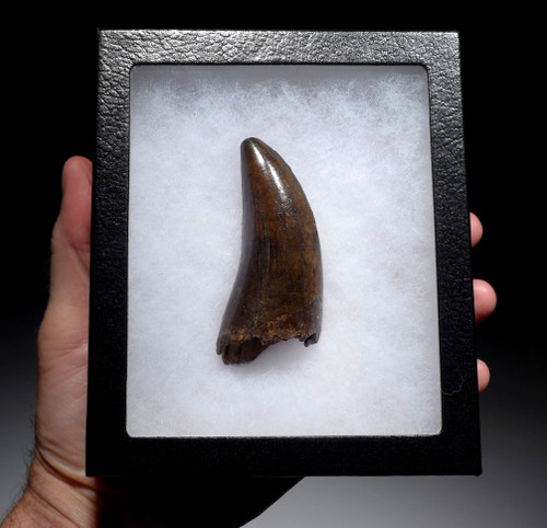 INVESTMENT GRADE LARGE BONE-CRUSHING T REX TOOTH FROM A HUGE TYRANNOSAURUS REX *DTX1801